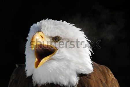 Kel kartal portre amerikan Stok fotoğraf © nialat