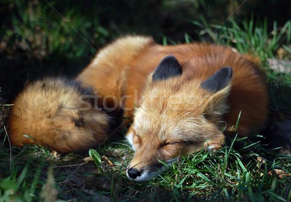 Kırmızı tilki portre uyku uyku Stok fotoğraf © nialat