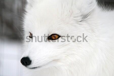 Foto stock: ártico · raposa · quadro · árvore · cão