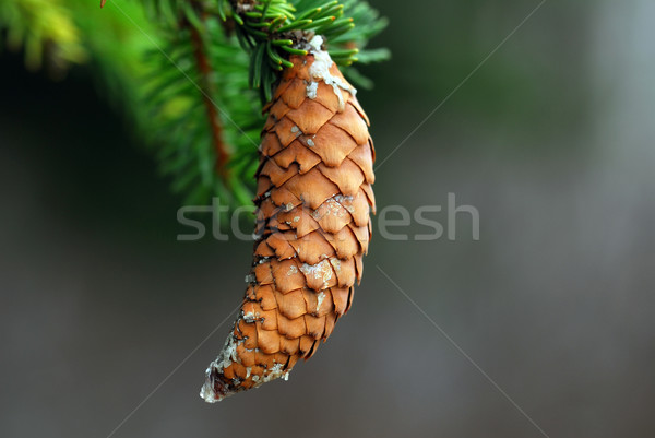 Pine cone Stock photo © nialat