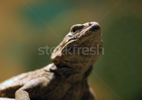 Kertenkele resim göz doğa beyaz Stok fotoğraf © nialat