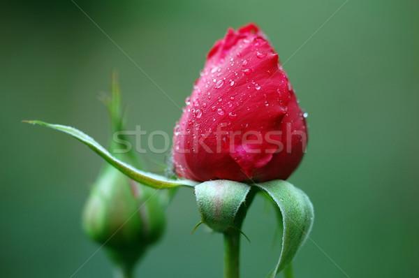Kırmızı gül resim iki bir hazır Stok fotoğraf © nialat