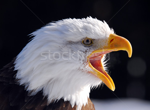 Chauve aigle photos hurlant Photo stock © nialat