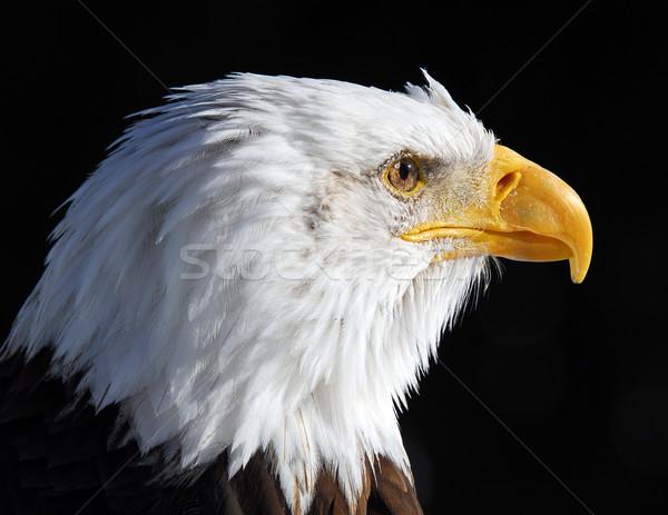 アメリカン はげ イーグル クローズアップ 画像 翼 ストックフォト © nialat