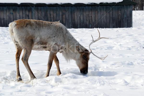 Ren geyiği resim kış hayvan Noel Kanada Stok fotoğraf © nialat