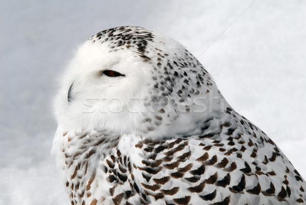 Baykuş resim erkek gözler doğa Stok fotoğraf © nialat
