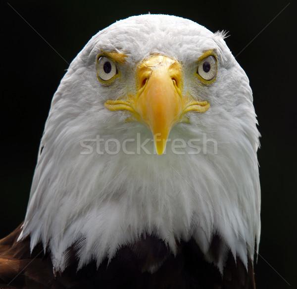 Amerikan kel kartal portre kuş Stok fotoğraf © nialat
