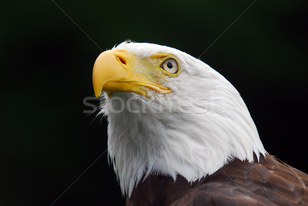 American Bald Eagle Stock photo © nialat