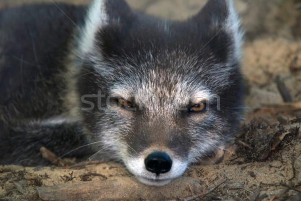 Arctic Fox Stock photo © nialat
