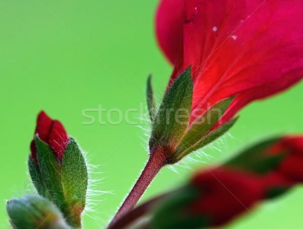 赤い花 クローズアップ 画像 工場 マクロ ストックフォト © nialat