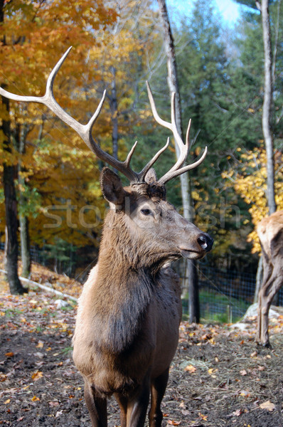 Elk Stock photo © nialat