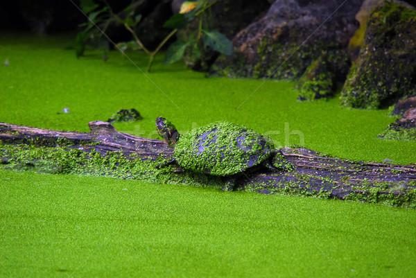Kaplumbağalar iki ahşap yeşil yüzmek kaplumbağa Stok fotoğraf © nialat