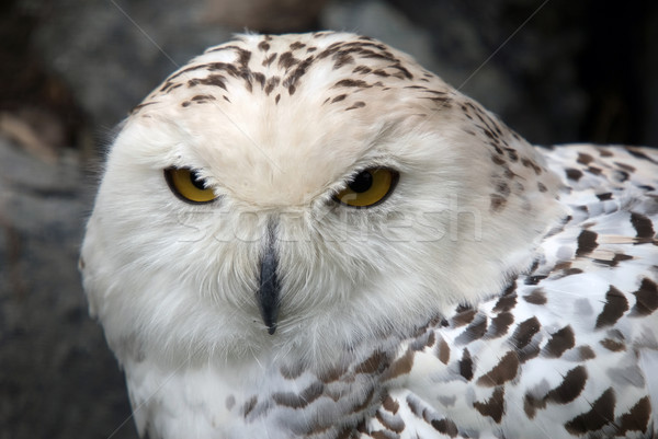 Baykuş portre güzel kuş beyaz Stok fotoğraf © nialat