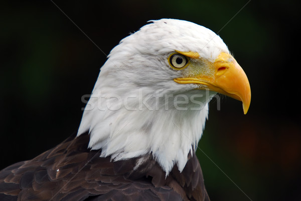 Stock photo: American Bald Eagle (Haliaeetus leucocephalus)