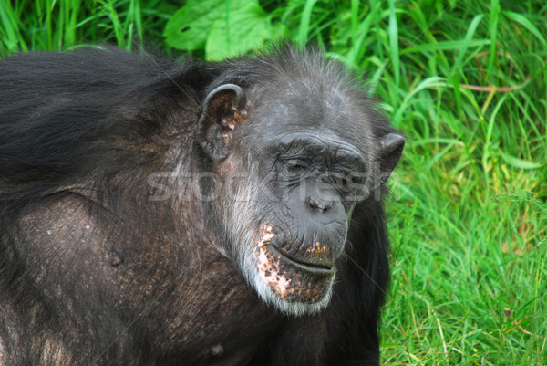 Csimpánz közelkép kép természet portré vadvilág Stock fotó © nialat
