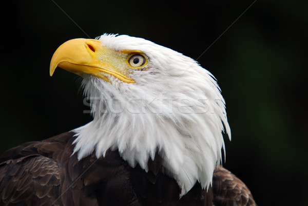 American Bald Eagle (Haliaeetus leucocephalus) Stock photo © nialat