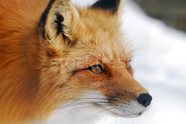 Rouge Fox photos sauvage chien Photo stock © nialat