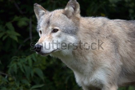 オオカミ 森林 秋 自然 ストックフォト © nialat