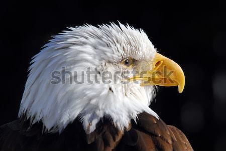 Bald Adler Bild Freiheit Stock foto © nialat