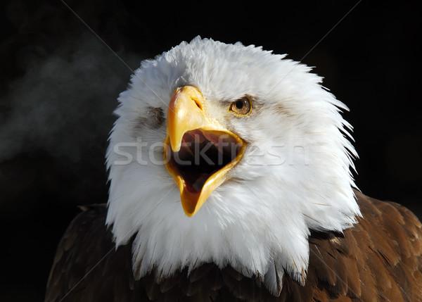 American Bald Eagle Stock photo © nialat
