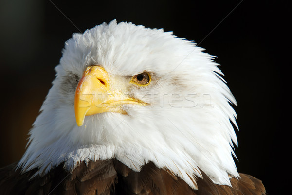 Amerikai kopasz sas közelkép kép szárnyak Stock fotó © nialat