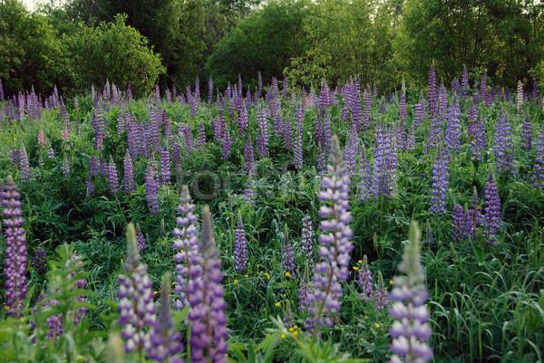 フィールド 成長 北方 森林 緑 ストックフォト © nialat