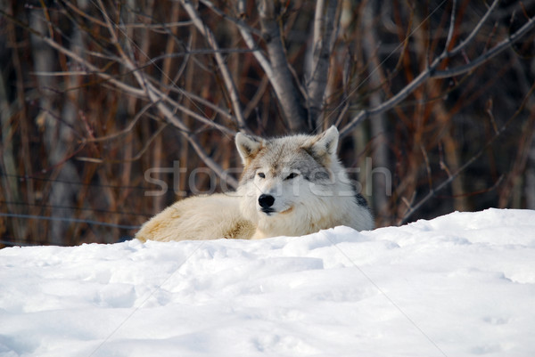 Gray Wolf Stock photo © nialat