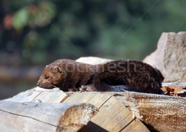 Amerikan resim ahşap orman doğa Stok fotoğraf © nialat