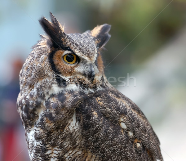 Eagle owl portrait nature oiseau nuit plumes Photo stock © nialat