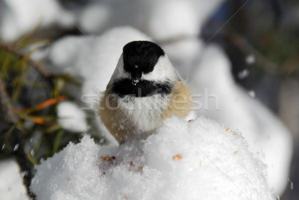 Foto voedsel natuur sneeuw vogel winter Stockfoto © nialat