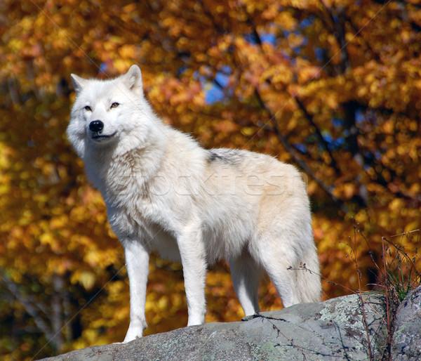 Арктика волка лес осень природы Сток-фото © nialat