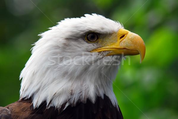 Bald eagle Stock photo © nialat
