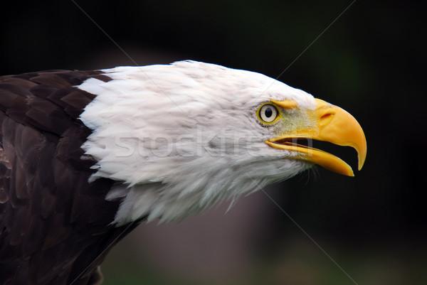 American Bald Eagle (Haliaeetus leucocephalus) Stock photo © nialat