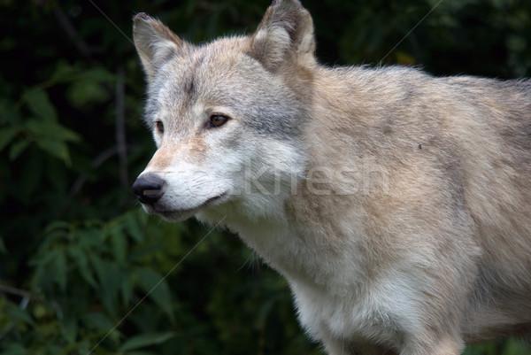 グレー オオカミ クローズアップ 画像 自然 生息地 ストックフォト © nialat