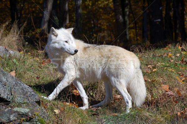Sarkköri farkas fenséges erdő ősz természet Stock fotó © nialat