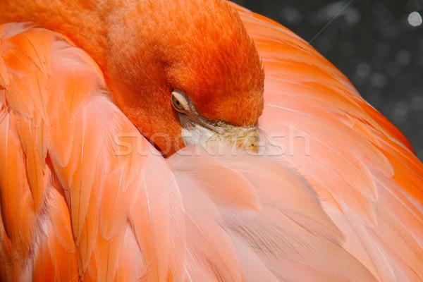 Flamingo resim renkli pembe kuş Stok fotoğraf © nialat