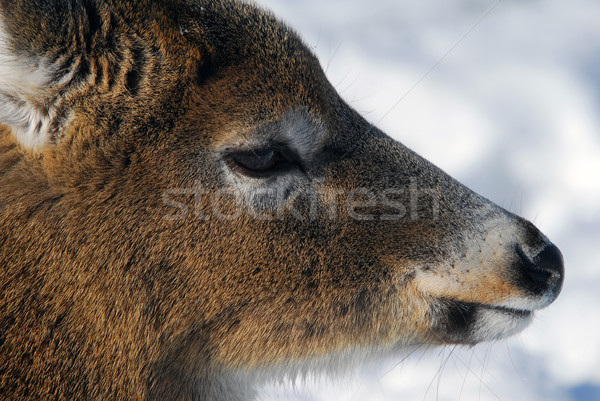 White-tailed deer  Stock photo © nialat