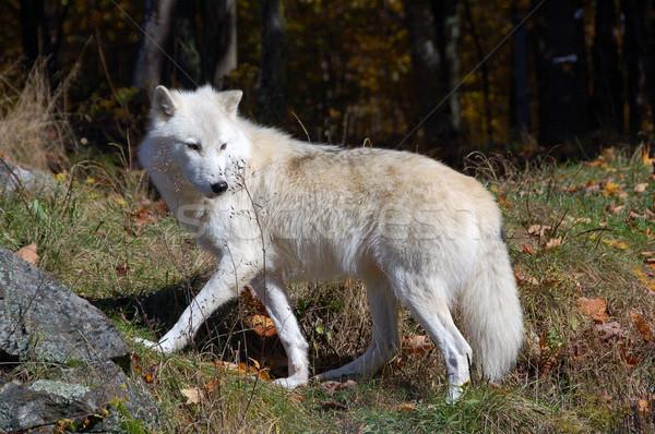 Arctic Wolf Stock photo © nialat