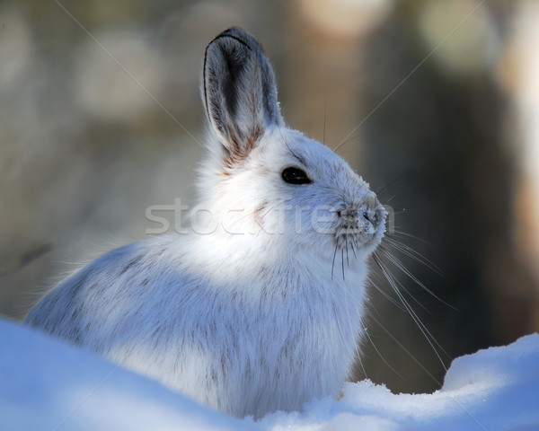 Snowshoe Hare Stock photo © nialat