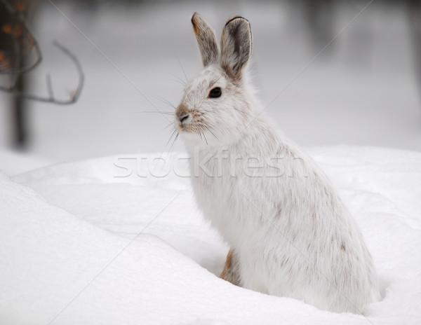Tavşan beyaz kış park orman alanları Stok fotoğraf © nialat