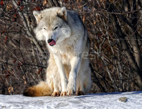 Szürke farkas kép gyönyörű napos idő szem Stock fotó © nialat