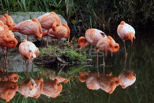 フラミンゴ 画像 カラフル ピンク 鳥 ストックフォト © nialat