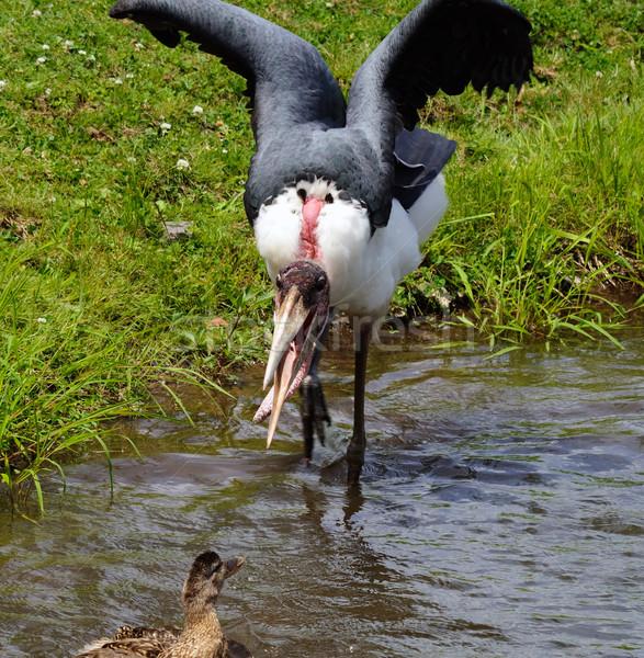 Resim kuş tüy Afrika ördek leylek Stok fotoğraf © nialat