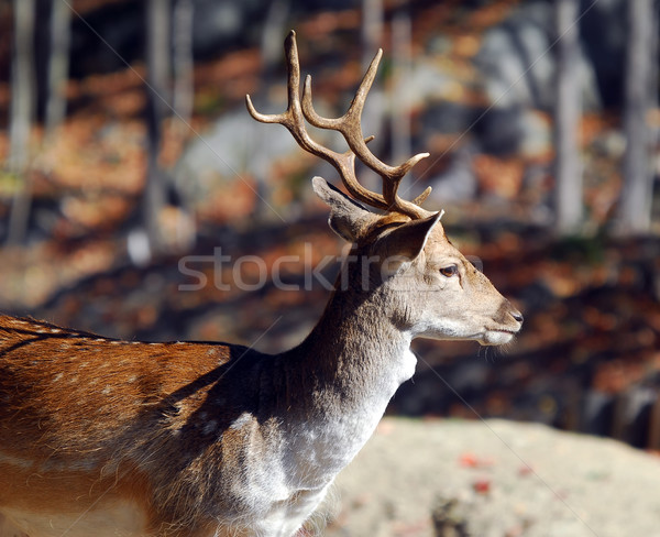 Fallow Deer (Dama dama) Stock photo © nialat
