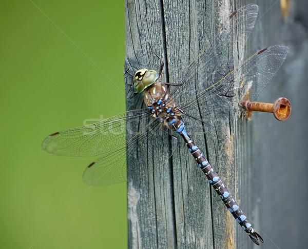 Yusufçuk makro parça ahşap gözler doğa Stok fotoğraf © nialat