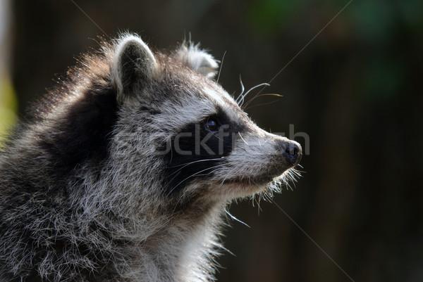 アライグマ クローズアップ 肖像 森林 ストックフォト © nialat
