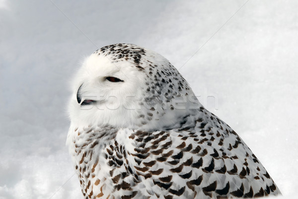 Snowy Owl Stock photo © nialat