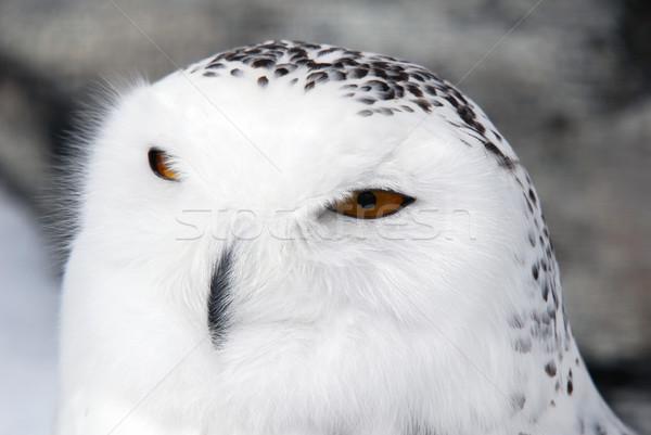 フクロウ クローズアップ 画像 男性 目 自然 ストックフォト © nialat