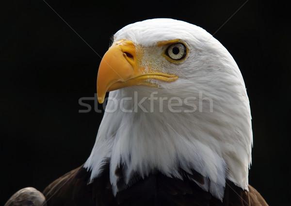 Kaal adelaar amerikaanse vogel buit Stockfoto © nialat