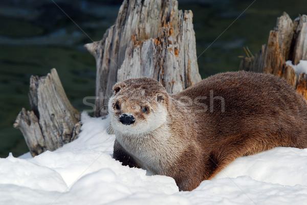 Otter Stock photo © nialat